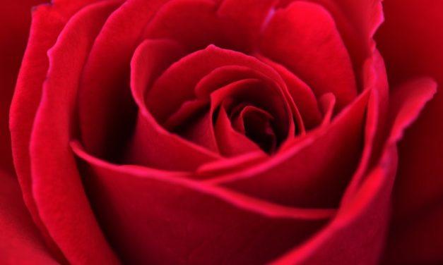 Manfaat Bunga Mawar untuk Wajah