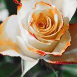 Bunga Sweet Pea yang sangat Menawan