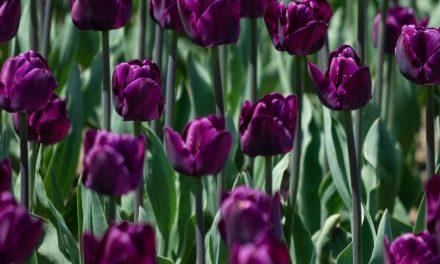 Rekomendasi Pilihan Bunga Romantis